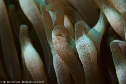 BD-161026-Pura-2988-Entacmaea-quadricolor-(Leuckart-in-Rüppell---Leuckart.-1828)-[Bubble-tip-anemone].jpg